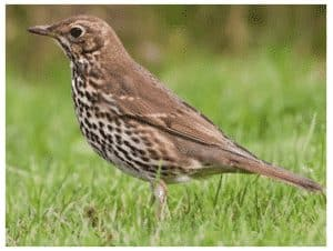 photo-of-a-thrush-songbird